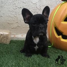 Guys  meet Marcelo a beautiful Black Brindle male 10 weeks old ready to go to a for ever home.  If interested in any of our frenchies text us at 917-783-8654  Look out for two more of our beautiful frenchies looking for a forever home posting later on today at 2:30 p.m & 6:30 p.m (EST) by thefrenchiepost