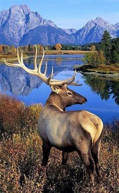 Elk Deer - Behavior, Size, Taxonomy, Pictures and Other Information - Naturbilder - Animals Wild Nature Animals, Animals And Pets, Cute Animals, Wild Animals, Colorful Animals, Wildlife Nature, Baby Animals, Wild Life, Grand Teton National Park