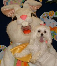Ah, this Easter Bunny isn't as scary as the others thank God. Is that a maltese puppy? If it is, he has no problem posing for this pic...