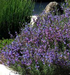 Penstemon 'Margarita Bop' -  beautiful violet and blue flowers