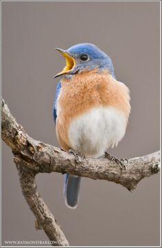 Focusing on Wildlife » Eastern Bluebird Photography