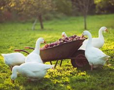 """524 Likes, 26 Comments - The Seasonal Table (@the_seasonal_table) on Instagram: """"A wheelbarrow load of Spartan apples, accompanied by the geese, who not only love apples, but are…"""""""