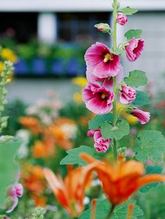 Hollyhock  Hollyhocks have been garden favorites for generations. And what's not to love about their towering spikes of hibiscus-shape flowers? The pink-flowering types are particularly fun in the garden as they seem to blend well with everything.  Name: Alcea rosea  Growing Conditions: Full sun and well-drained soil  Size: 3-8 feet tall and 1-3 feet wide  Zones: 3-8