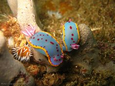 Here& a series of examples illustrating the diversity of the beautiful sea slugs (or sea cucumbers), these aquatic animals of the family of nudibranchs. These gastropod molluscs showing no . Underwater Creatures, Ocean Creatures, Underwater Life, Glaucus Atlanticus, Beautiful Sea Creatures, Sea Snail, Sea Slug, Sea And Ocean, Ocean Life