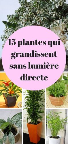 15 Plantes qui poussent sans lumière du soleil directe If you often forget to water your indoor plants, acquiring a peace lily is indulgent.