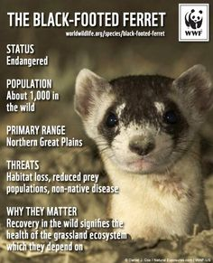 An introduction to the ferrets and their endangerment