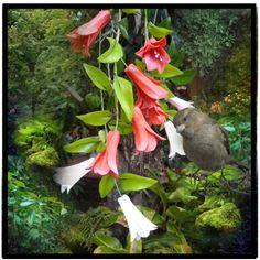 Un ramillete de copihues en el bosque de Chile