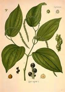 Fun Fact: Black pepper (Piper nigrum) is one of the most popular spices in the world. Known as King of the spices. Black pepper is the most common and potent flavoring of the peppercorn family. The pepper plant is a perennial woody vine growi Black Pepper Plant, Pepper Plants, Black Pepper Health Benefits, La Malmaison, Black Pepper Essential Oil, Green Peppercorn, Magic Herbs, Herbal Magic, Medicinal Plants