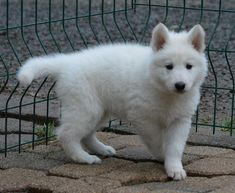 Chiot berger blanc suisse non lof à adopter lées athas Pyrénées Atlantiques (64) sur ANIMAUX .fr