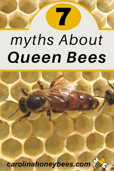 The queen honey bee is the most important single bee in the hive.   Yet sometimes the things we think we know about her are not really true.  #carolinahoneybees