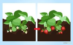 7 Ways to Grow Strawberries - wikiHow