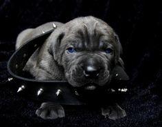 Blue Cane Corso Puppy