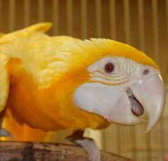 Golden albino macaw. That face is a face of happiness. What a beautiful bird!