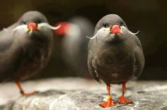 Inca Terns...native to the coast of Peru and Chile. They develop their mustaches or facial plumes, when they mature.