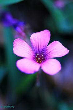 Little Purple Flower - by andelieya