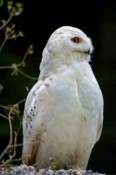 Perched male snowy owl by Tambako The Jaguar**