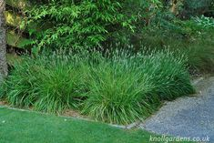 Sesleria Greenlee's Hybrid | Knoll Gardens | Ornamental Grasses and Flowering…