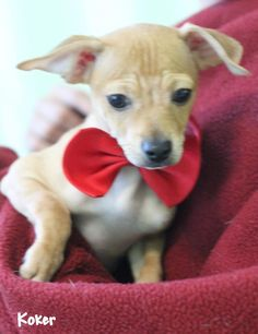 Koker is an adoptable Chihuahua searching for a forever family near Dalton, GA. Use Petfinder to find adoptable pets in your area.