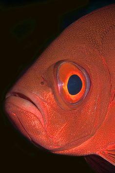 Pesce soldato - (Priacanthus hamrur)