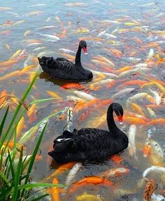 wOw !! Black swans in a Koi pond !