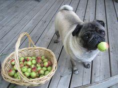 Pugs like apples.