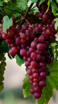 Top 9 Health Benefits of Red Grapes. Fruit Plants, Fruit Garden, Fruit Trees, Fruit And Veg, Fruits And Vegetables, Fresh Fruit, Beautiful Fruits, Beautiful Flowers, Fruits Photos