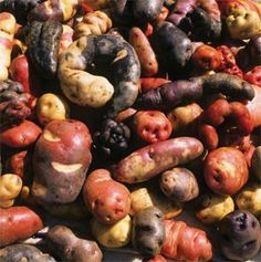1500 varieties of peru's native potato exist. To preserve biodiversity the Svalbard Global Seed Vault in Norway plans to preserve the present varieties in 2014. Right now Parque de la Papa is helping preserve 402 varieties