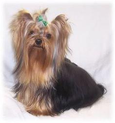 cute yorkie Yorkie Dogs, Yorkies, Yorkie Haircuts, Yorkshire Terrier, Cute Puppies, Pets, Animals, Style, Yorkshire Terriers