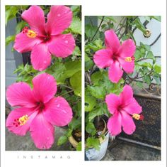 Stil Pink Hibiscus..😍 One fine morning at Jakarta, 220317