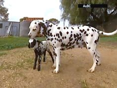 Dalmation adopts abandoned spotted lamb... ADORABLE!