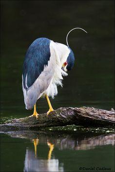 Black-crowned Night-Heron Preening by Daniel Cadieux on 500px