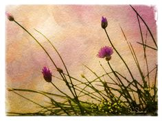 Early Morning Chives by Creatography on Etsy