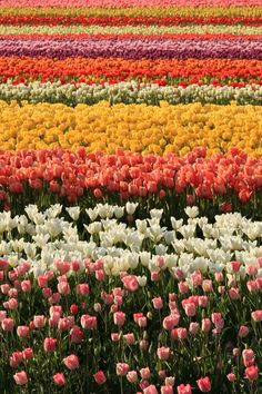Skagit Valley Tulip Festival, Washington