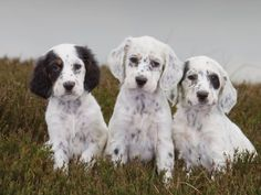 English Setter Puppies. Large A5 Greeting Card by Charles Sainsbury-Plaice. Price @ £2.95 +p    http://www.amazon.co.uk/dp/B0089UZ9PO/ref=cm_sw_r_pi_dp_VMUxrb0ZAZSJS