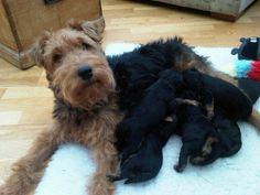 Darcy the welsh terrier with her puppies Welsh Terrier, Fox Terriers, Vulnerability, Wire, Puppies, Dogs, Animals, Animaux, Doggies