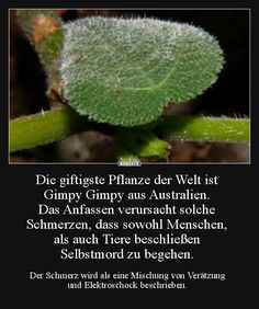 The most poisonous plant in the world is Gimpy Gimpy from . Funny Facts, Funny Quotes, Life Quotes, Good To Know, Did You Know, Told You So, Cool Pictures, Funny Pictures, Girl Short Hair