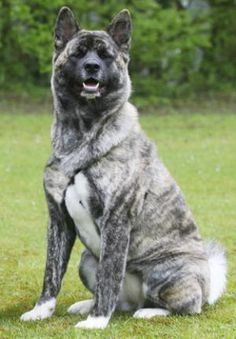 A beautiful specimen of a japanese Akita. Looks just like the Dalton, my moms dog:)