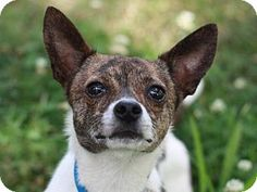 East Brunswick, NJ - Chihuahua/Toy Fox Terrier Mix. Meet Gillian, a dog for adoption. http://www.adoptapet.com/pet/11200438-east-brunswick-new-jersey-chihuahua-mix