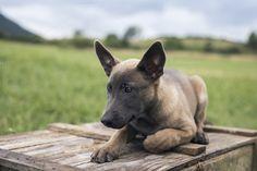 Belgian Malinois puppy by Irantzu Arbaizagoitia on Creative Market