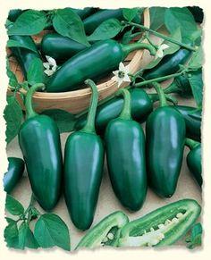 Pepper Jalapeno Jalapeno Gigantia D544JAL (Green) 50 Hybr... http://www.amazon.com/dp/B01E95YHSC/ref=cm_sw_r_pi_dp_mu9gxb0S9VMS2