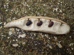 Robinia pseudoacacia seed pod