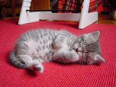 Biscotti is the sweetest, softest, cutest grey tabby male