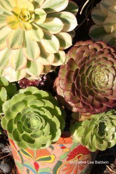 Aeoniums in a Talavera pot