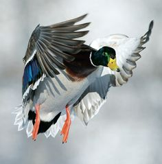 Tips and Tactics: How to Hunt Ducks ---Outdoor Life -  by Andrew McKean and Kyle Wintersteen
