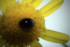 For this shot is grabbed a bunch of little yellow flowers, and out them on a piece of white paper with a background light. Only as I was looking through the viewfinder I noticed the tiny beetle! It was no more than 2mm long!