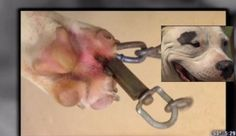 Punish California owner who drilled hole in pit bull's paw, tethered her with a chain!