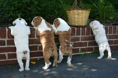 english bulldog puppies!