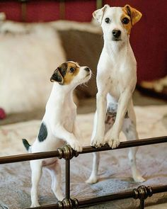 """552 Likes, 1 Comments - Jack Russell Daily (@jackrussell_daily) on Instagram: """"Looking for unique Jack Russell products? CLICK the link in my bio to get it!   Credit:…"""""""
