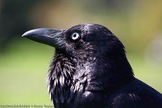 Australian Raven photo: Australian Raven close up | the Internet Bird ...