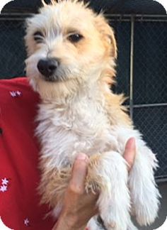 Cairn Terrier/Wheaten Terrier Mix Dog for adoption in